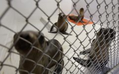 SBCC volunteers rescue and heal sea lions