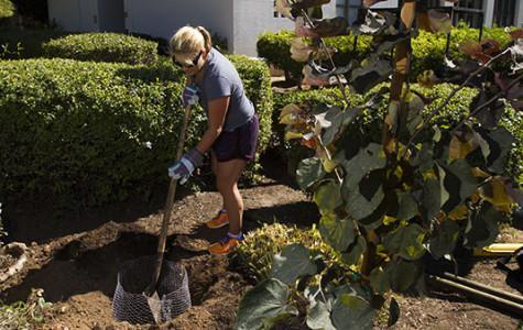 Volunteers plant apple trees to improve campus environment