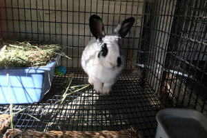 This bunny's name is Little Dipper, and is one of the bunnies at the Bunnies Urgently Needing Shelter organization, located at the Santa Barbara County Animal Shelter, 5473 Overpass Rd, in Santa Barbara.