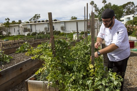 Culinary Student Jon Stabin picks snow peas from a planter box on Thursday, March 10, behind the East Campus Classroom 15 at Santa Barbara City College. The Culinary Department grows an assortment of fruits and vegetables including strawberries, snow peas, and various herbs.