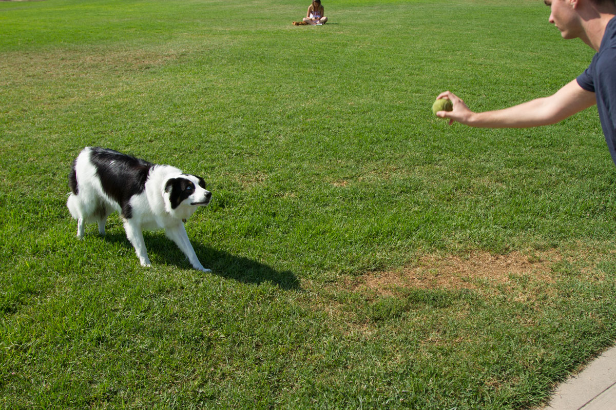 Chase, a border collie service dog, prepares to play fetch with SBCC student Harrison Powers on west campus Wednesday, August 30, 2017. Even though Chase is a Service dog, new rules are being put into place that all dogs must be on a leash at all times.