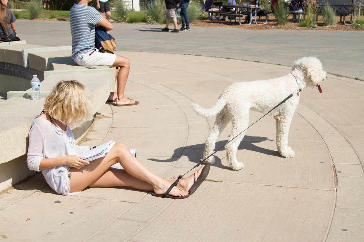 City College student Alyssa Davis wraps her dog Benji, a Golden Doodle, with a leash around her ankle to keep him put while doing homework on West Campus Wednesday, August 30, 2017 at Santa Barbara City College. New rules have been put in place to make even service dogs wear leashes at all times.