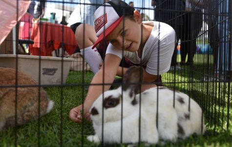 Nine-year-old Taylor Herald plays with a bunny named Pearl at the 10th annual Wags n' Whiskers Festival on Saturday, Oct. 13, 2018, at City College in Santa Barbara Calif. The bunny, along with many others, is available for adoption through Bunnies Urgently Needing Shelter at the Santa Barbara Animal Shelter.