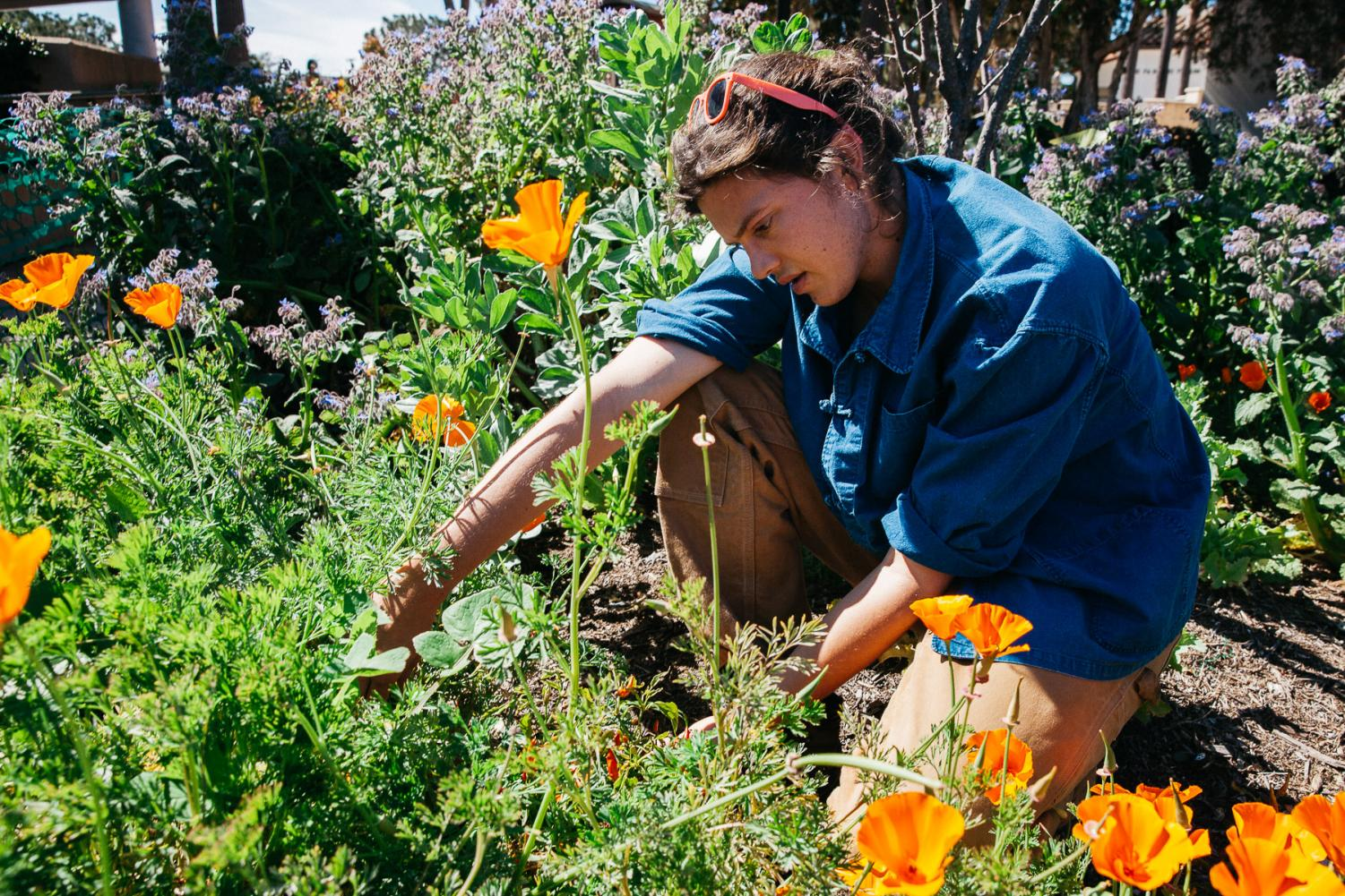 Jackson Hayes pulls invasive weeds from the permaculture garden on Thursday, March 14, 2019, on West Campus at City College in Santa Barbara, Calif. Hayes believes the recent rain could result in a mini super bloom for the garden.