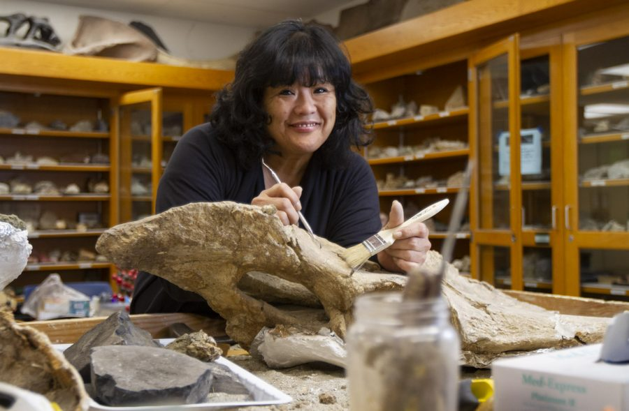 Eiko Kitao, City College's geology department's lab technician dusts off a mastodon scapula in the