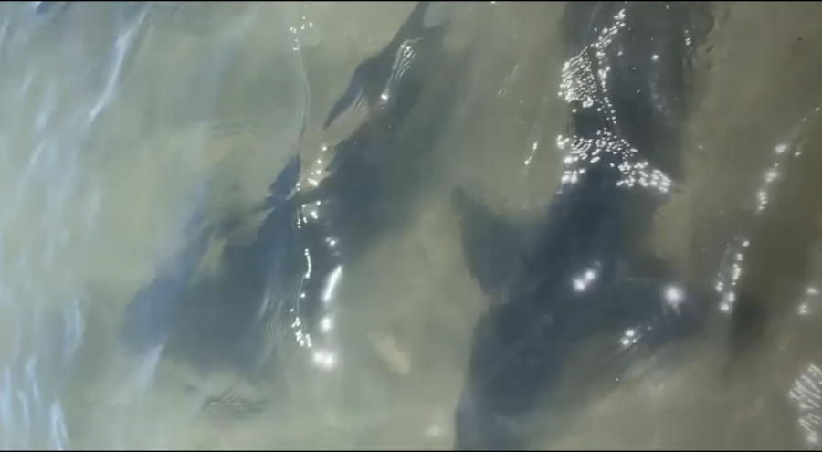 Screengrab of video showing leopard sharks, courtesy of Zoe St. Pierre.